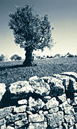 Apulia: ancient olive groves